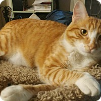 Adopt A Pet :: Frank-doglike active cat - Los Angeles, CA
