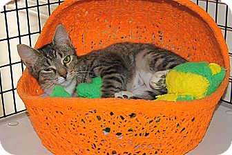 American Shorthair Cat for adoption in Victor, New York - Ponder