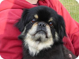 Tibetan Spaniel Dog for adoption in Daleville, Alabama - Lincoln
