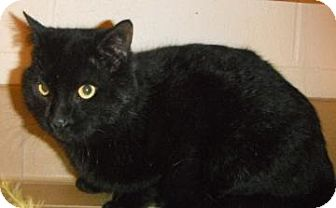 Domestic Shorthair Cat for adoption in Jackson, Michigan - Romeo