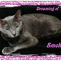 Domestic Shorthair Cat for adoption in Orange City, Florida - Smokey