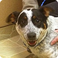 Adopt A Pet :: Cowgirl - Brattleboro, VT