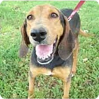 Coonhound Dog for adoption in Kaufman, Texas - Gracie