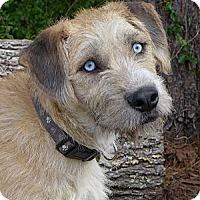 Adopt A Pet :: Aztek - Mocksville, NC