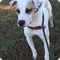 Adopt A Pet :: Spirit - Hatifeld, PA