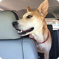 Adopt A Pet :: Ranger(located in TX) - Cranston, RI