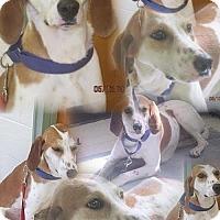 Adopt A Pet :: Daisy Mae - Westminster, MD