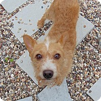 Welsh Terrier Mix Dog for adoption in McKinney, Texas - Simply Red