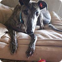 Adopt A Pet :: Wyatt - Tucson, AZ