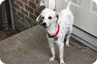 Poodle (Miniature) Mix Dog for adoption in Woonsocket, Rhode Island - Kevin