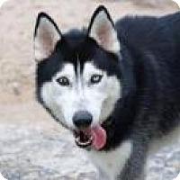 Husky Dog for adoption in New Smyrna Beach, Florida - Max