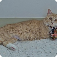 Domestic Mediumhair Cat for adoption in Chambersburg, Pennsylvania - Rubarb