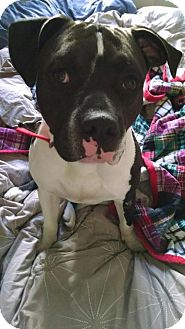 American Staffordshire Terrier Dog for adoption in Richmond, California - Smith