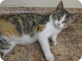 Domestic Shorthair Cat for adoption in Gary, Indiana - Kitty