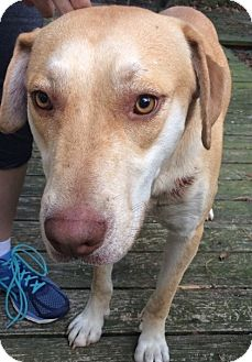 Golden Retriever Mix Dog for adoption in Spring, Texas - Buddy