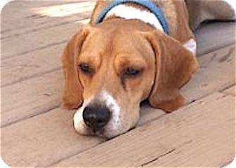 Beagle Dog for adoption in Houston, Texas - Griffin
