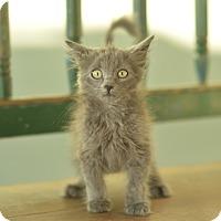 Domestic Mediumhair Kitten for adoption in San Antonio, Texas - Moe