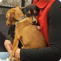 Chihuahua Mix Puppy for adoption in Fincastle, Virginia - Thelma & Louise BONDED PAIR