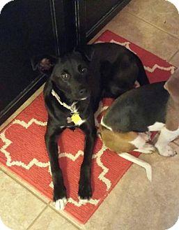 Labrador Retriever Mix Dog for adoption in Cincinnati, Ohio - Colleen