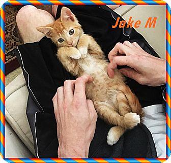 Domestic Shorthair Kitten for adoption in Brandon, Florida - Jake