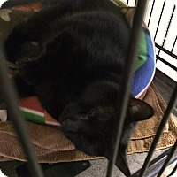 Adopt A Pet :: Midnight - Byron Center, MI