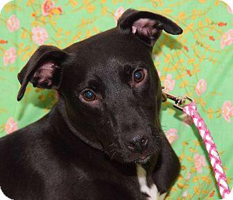 Manchester Terrier/Labrador Retriever Mix Dog for adoption in New York, New York - Madison