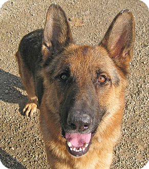 German Shepherd Dog Dog for adoption in Marseilles, Illinois - Jack