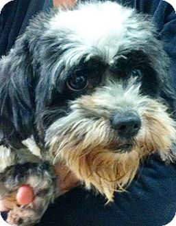 Shih Tzu Mix Dog for adoption in Oswego, Illinois - I'M ADPTD Strudel O'Donnell
