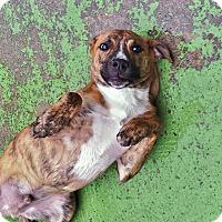 Adopt A Pet :: Fulton - Brooklyn, NY