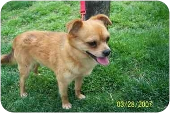 Pomeranian Dog for adoption in Chesapeake, Virginia - Squall in NC