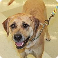 Adopt A Pet :: Sophie - Chandler, AZ