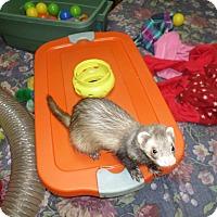 Ferret for adoption in Fawn Grove, Pennsylvania - Bear