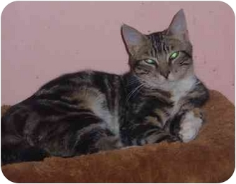 Domestic Shorthair Cat for adoption in Bedford, Massachusetts - Tiger