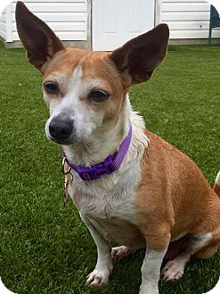 Chihuahua Mix Dog for adoption in Whitestone, New York - Wendy (Cali 15)