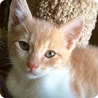 Domestic Shorthair Kitten for adoption in Irvine, California - ARCHIE