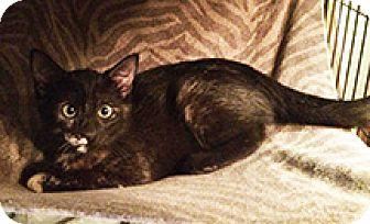 Calico Kitten for adoption in Metairie, Louisiana - Sabrina