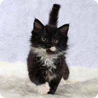 Domestic Mediumhair Kitten for adoption in Arlington, Virginia - Cookie and Ruffles