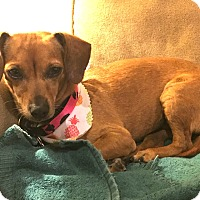 Adopt A Pet :: Sicily - 2 yr, 11 lbs, Doxie - Los Angeles, CA