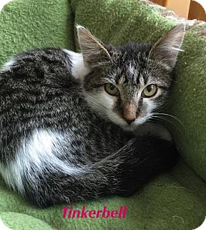 Domestic Shorthair Cat for adoption in Baton Rouge, Louisiana - Tinkerbell