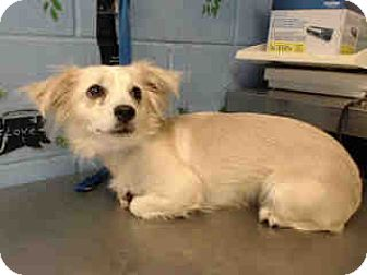 Pomeranian/Spaniel (Unknown Type) Mix Dog for adoption in San Bernardino, California - URGENT ON 10/4  San Bernardino