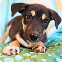 Husky/Labrador Retriever Mix Puppy for adoption in Staunton, Virginia - Mercy