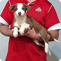 Adopt A Pet :: Sugar - New Philadelphia, OH