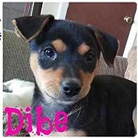 Adopt A Pet :: Dibe - Denver, CO