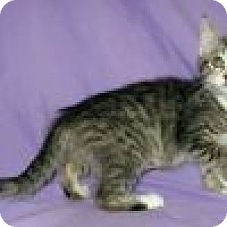 Domestic Shorthair Cat for adoption in Powell, Ohio - Shiori