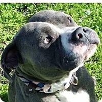 Adopt A Pet :: MAVERICK-low fees/neutered - Red Bluff, CA
