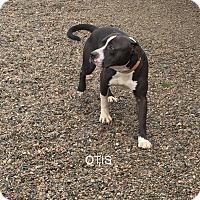 Pit Bull Terrier Mix Dog for adoption in Hibbing, Minnesota - OTIS
