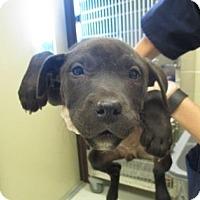 Adopt A Pet :: Jolly - Irving, TX