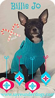 Chihuahua Dog for adoption in Mary Esther, Florida - Billie Jo