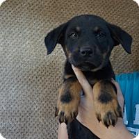Adopt A Pet :: Levi - Oviedo, FL