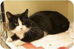 Domestic Shorthair Cat for adoption in crofton, Maryland - Abner